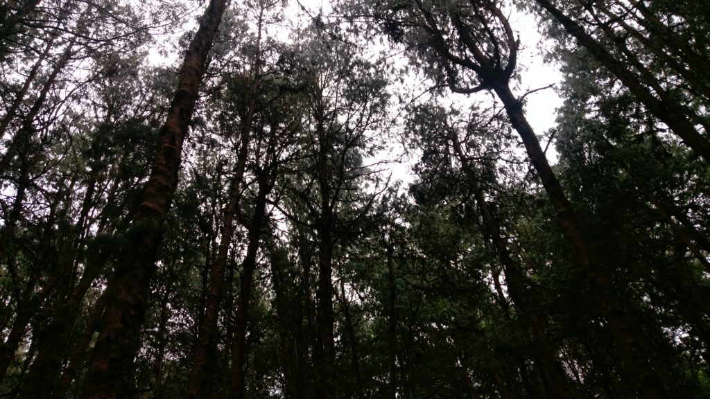 pine forest top